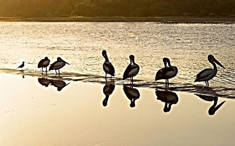 The Best Of Sale - Birdlife At Lake Guthridge Sale Victoria